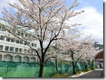 今年は桜が満開